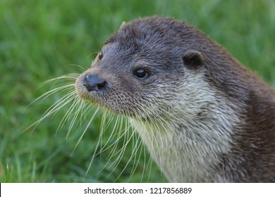 Head and shoulders of a European otter looking diagonally forward and left with green grass background