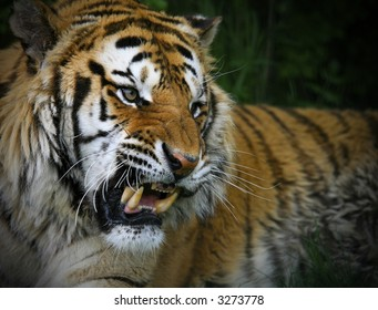 Head and shoulders of a large Siberian Tiger in captivity.  Snarling at something to the right of the photographer