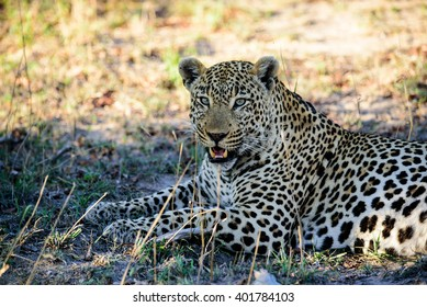 Head and shoulders of a male leopard