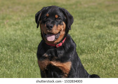 head and shoulders portrait of a smiling six month old rotti rottweiler male puppy on a blurred grass background