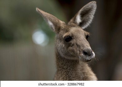 A head and shoulders shot of a kangaroo, great focus fall off. Lots of copy space on the left of frame.