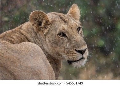 Head and shoulders shot of a lioness in the rain showing water drops with green foliage background.  Taken in Kenya.