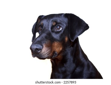 Head and shoulders of a sitting Dobermann ( Doberman ) bitch shot against a white background,  going slightly grey around the muzzle, gazing into the distance