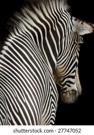 Head and Shoulders of a Zebra at an interesting angle with black background.