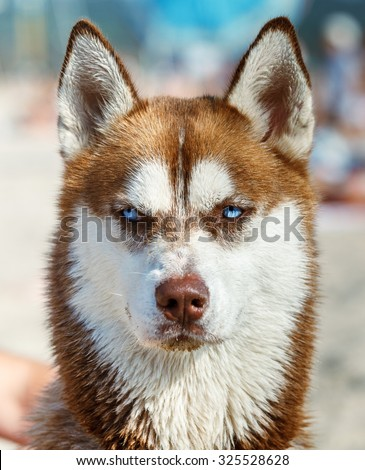 Head Siberian Red Husky Blue Eye Stock Photo Edit Now 325528628