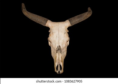 Head skull of bull isolated on black background