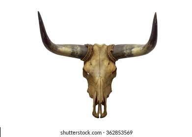Head skull of bull isolated on white background