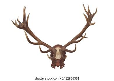 Head skull of deer isolated on white background