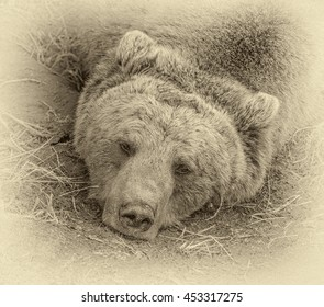 Head of a sleeping big brown bear. The Dancing Bears Reserve was founded in 2000 by French actress Brigitte Bardot - Belitsa, Bulgaria (stylized retro)