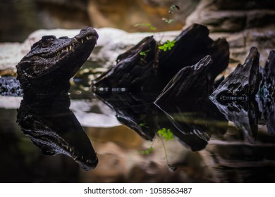 Head of the smooth-fronted caiman looking from the water in aquarium in Berlin (Germany)
