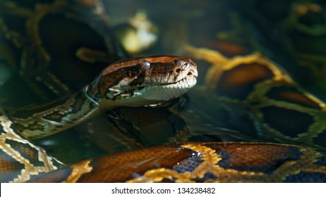 the head of a snake being in water ( Boa constrictor )