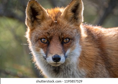 Head of a staring European red fox (Vulpes vulpes) close up