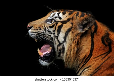 The head of the Sumatran tiger is looking angry from side view, animal closeup