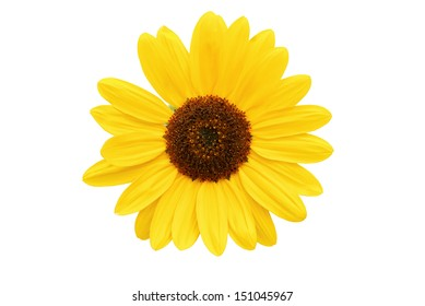 Head of sunflower isolated on white