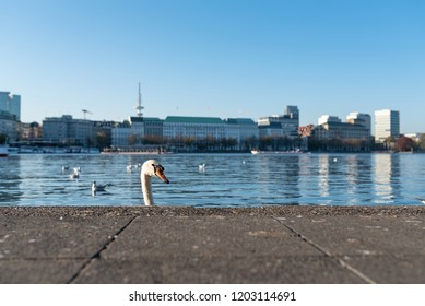 head of swan showing up behind quay wall at Alster Lake in Hamburg, Germany on sunny day