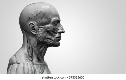 Head and torso anatomy  , Human head and shoulder muscular anatomy in 3D render in black and white