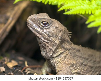Head of Tuatara, the living fossil, is a native and endemic reptile in new zealand. Animal in natural environment emerging from burrow
