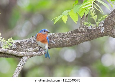 With its head turned to the side, a male eastern bluebird shows off  his orange breast  while perched on a branch.