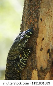 The head and upper torso of a goanna can be seen as he climbs a tree. His large claws are visible, and scratch marks are on the tree where the bark has peeled away. He has yellow markings.