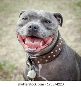 Head of very happy blue or grey Staffordshire Bull Terrier or Staffie in leather studded collar  with mouth open in a smile and looking at the camera