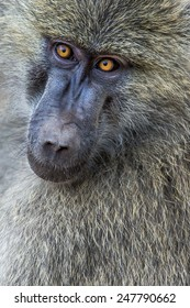 Head view of Anubus baboon in Tarangire National Park, Tanzania