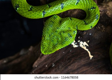 Head of the Wagler's Viper Snake