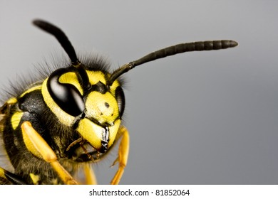 head of wasp in extreme close up with grey background