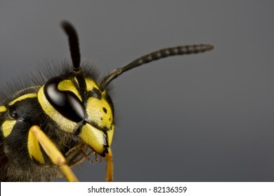 head of wasp in extreme close up with neutral background. Copyspace under and over antenna.