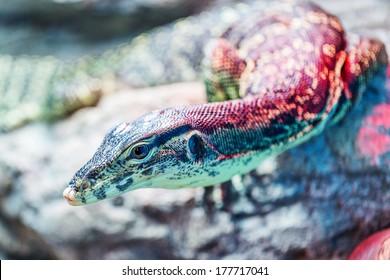 Head of water monitor lizard (Varanus salvator) close-up with very shallow depth of field