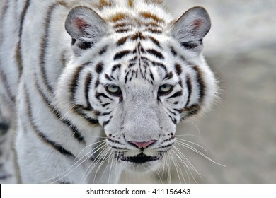Head of White Bengal Tiger walking, close-up