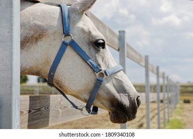 Head of white horse in light blue halter between wooden boards of paddock fence. Horse portrait.