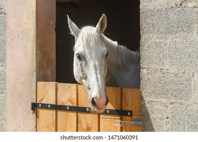 Head of a white horse out of his box