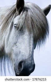 Head of a white icelandic horse