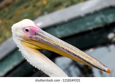Head of White Pelican (Pelecanus onocrotalus)