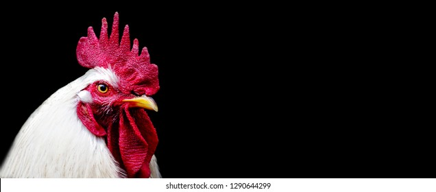 head white Rooster Chicken isolated on a black background. copy space. Panoramic view