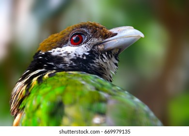 head of a white-eared catbird in profile view