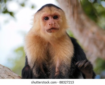Head of White-faced capuchin monkey, national park of Cahuita, Central America, Costa Rica