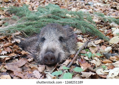 Head of wild boar decorated with coniferous branch