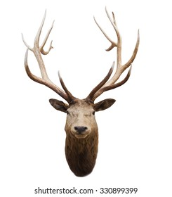 head of wild deer and horn isolated white