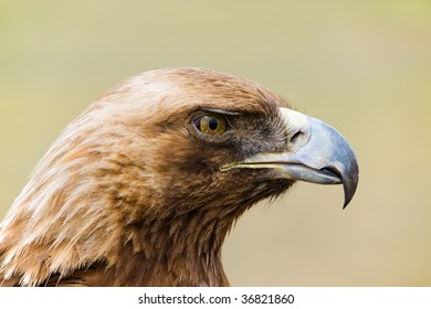 head of a wild golden eagle in close up