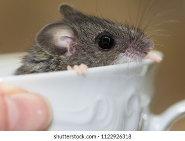 The head of a wild gray field mouse peeking over the rim of a hand held fancy white tea cup. The rodents hands are grasping the rim of the cup, and he is facing right.