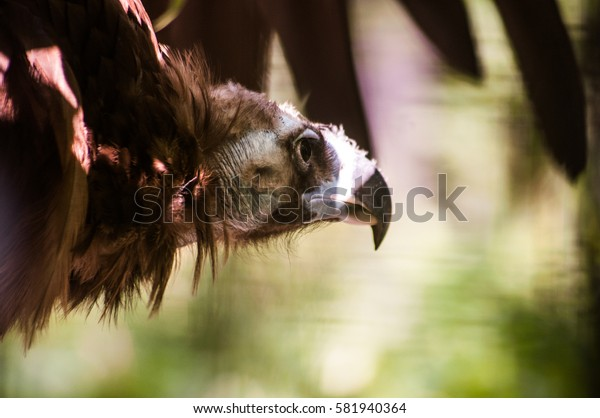 head and wing of griffon vulture