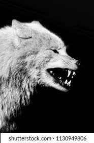 head wolf, black and white color