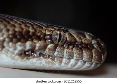 Head of a Woma Python resting on a person's arm - Closeup of head showing eye colors, scale patterns.