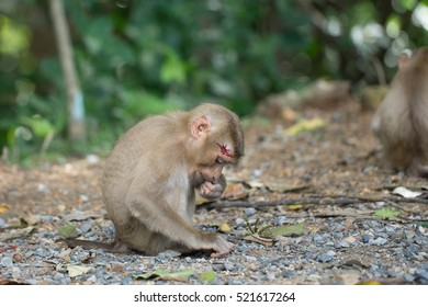 Head wound monkey is sitting and looking for something to eat in the forest. It's wound is still bleeding.