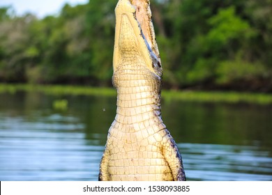 Head of a Yacare Caiman vertical out of the water against green defocused background  Pantanal Wetlands, Mato Grosso, Brazil