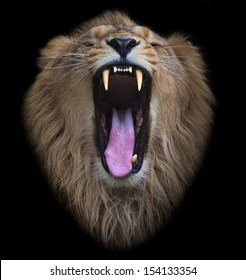 The head of a yawning Asian lion, isolated on black background. The King of beasts, biggest cat of the world. The most dangerous and mighty predator of the world shows his huge fangs.