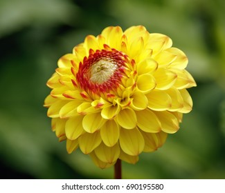 Head of a yellow dahlia flower.