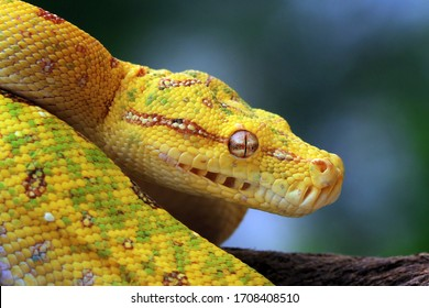 Head of yellow tree python snake on branch, snake on branch, reptiles closeup