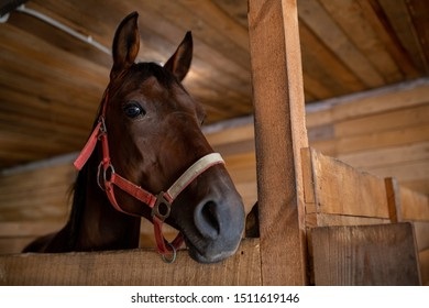 Head of young brown purebred racehorse standing in front of camera inside barn at rancho or stable